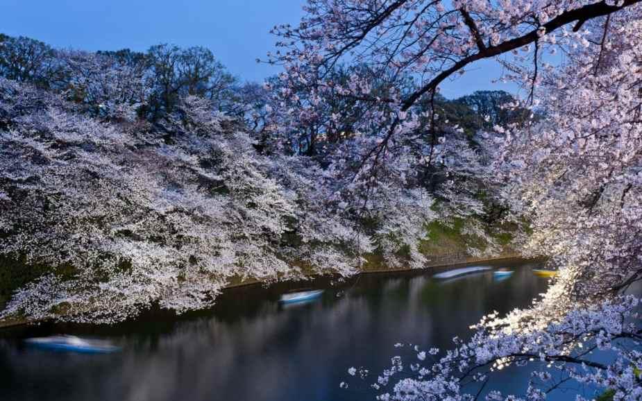 japanese-cherry-blossom-xlarge