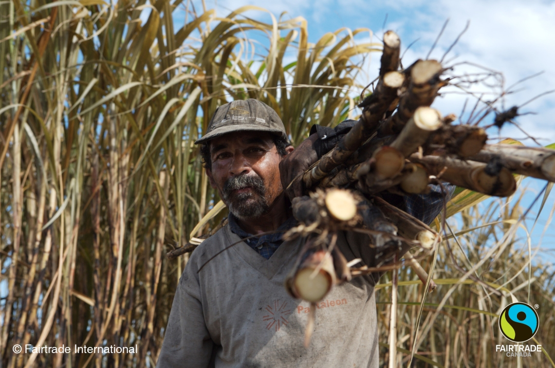 harvesting sugar cane by hand at the Belize Sugar Cane Farmers Association