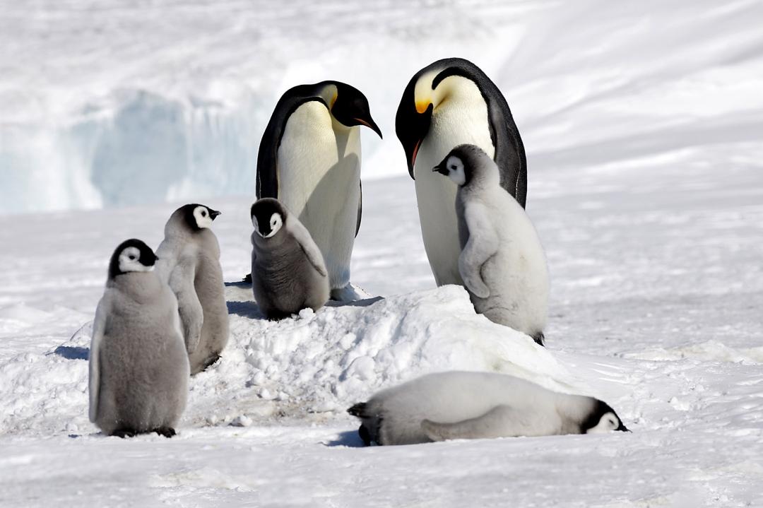 emperor_penguin_voyages_ross_sea_(c)_Polar_News-Heiner__Rosamaria_Kubny_Kaiser_15x10