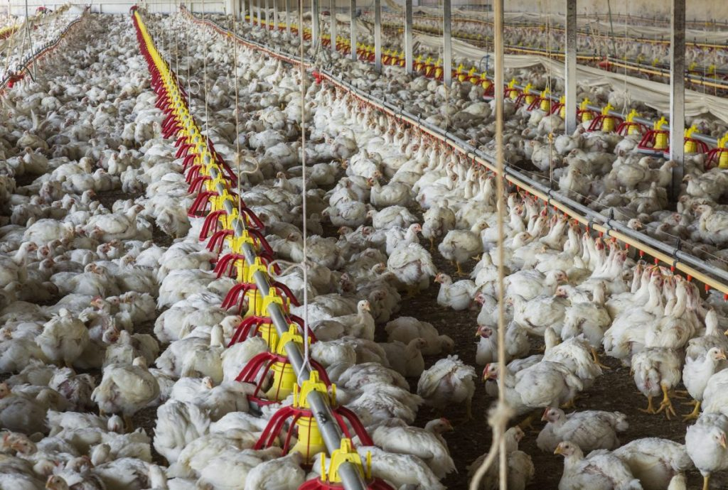 chicken-farming-south-africa-541055094-58d13b493df78c3c4f97869d-e1501468656347