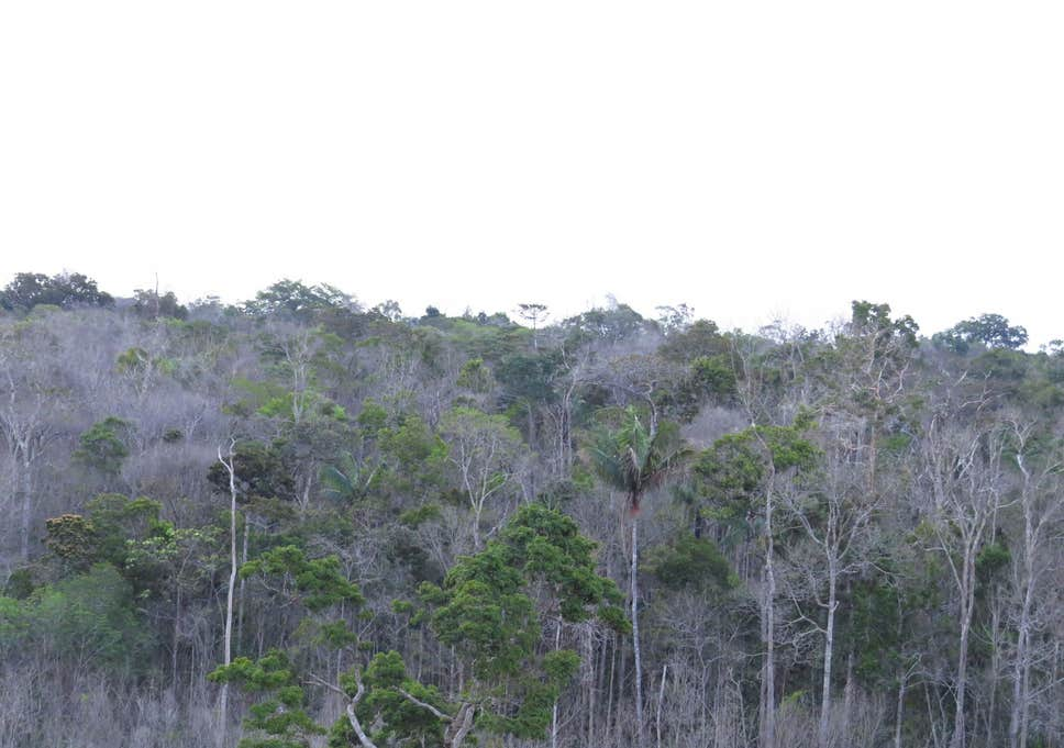 amazon-tree-death